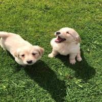Cute Golden retriever Puppies